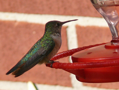 Rufuous Hummingbird, female