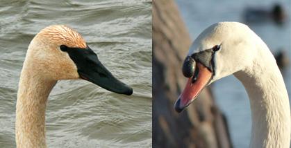 Trumpeter Swan, Mute Swan